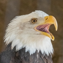 The Bald Eagle has been the emblem of the United States since 1782